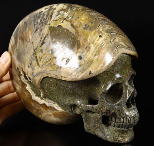 ammoniteskullsca