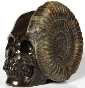 ammoniteskullsda