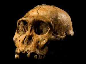 Australopithecus_sediba