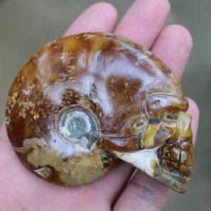 Ammonite Shell Skull