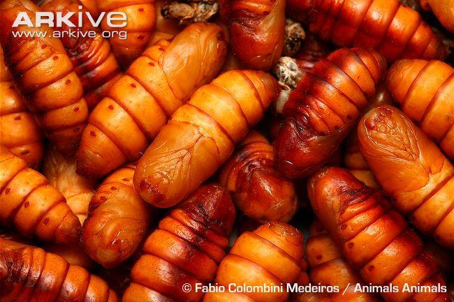 Silkworm-pupae
